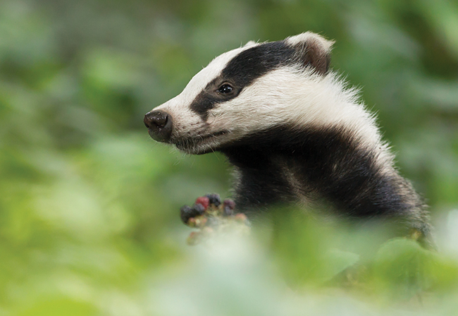 The great black and white badger swindle: The truth behind the unnecessary killing of badgers