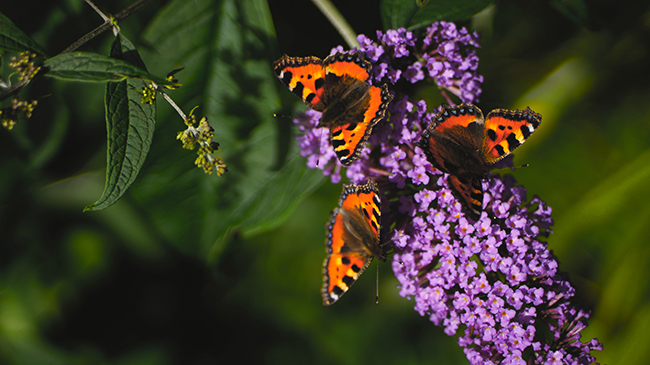 Top tips on how to attract more butterflies to your garden