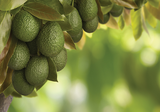 Exploring the health benefits of the mighty avocado