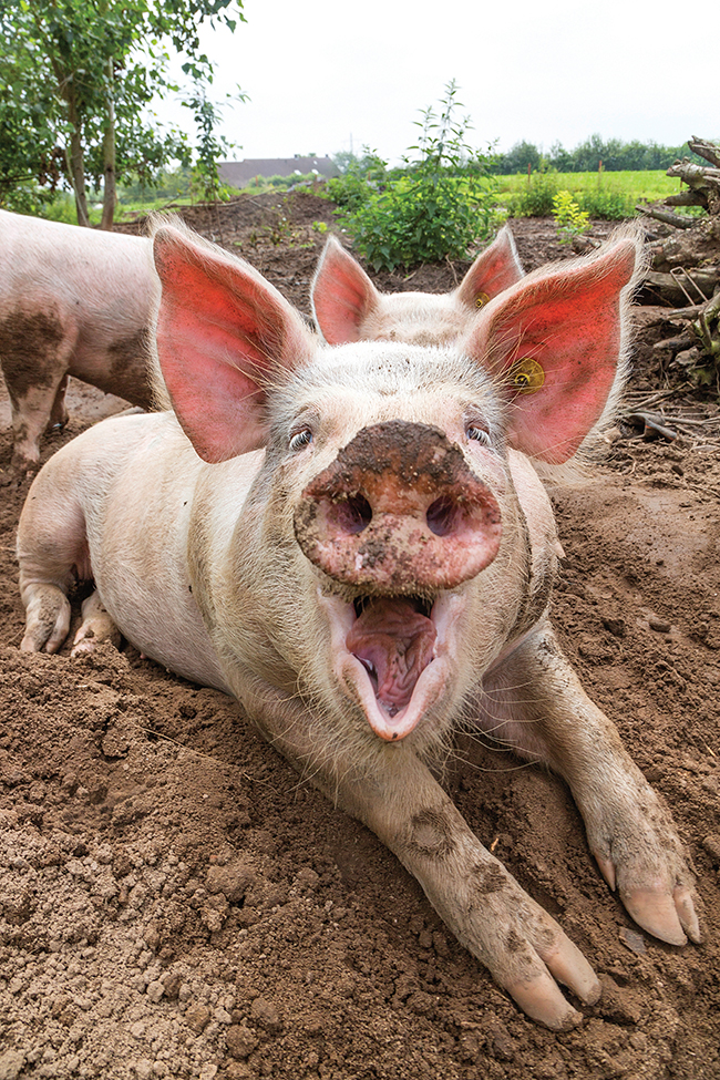 how wild boar became pigs