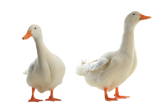 foie-gras britain