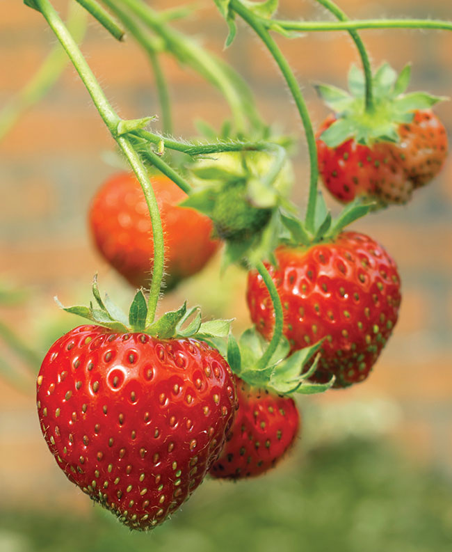 Adding 6-7 strawberries a day to your vegan diet will help cover 8% of your daily iodine intake.