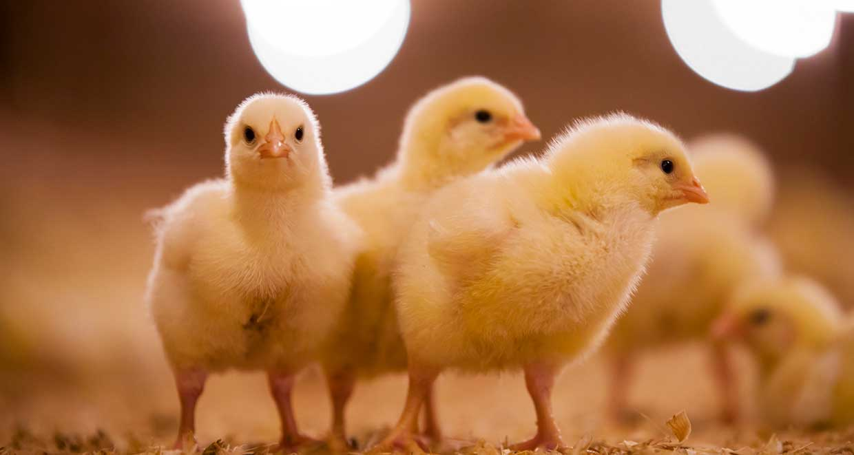 France to ban cruel practice of shredding of male chicks by end of 2021