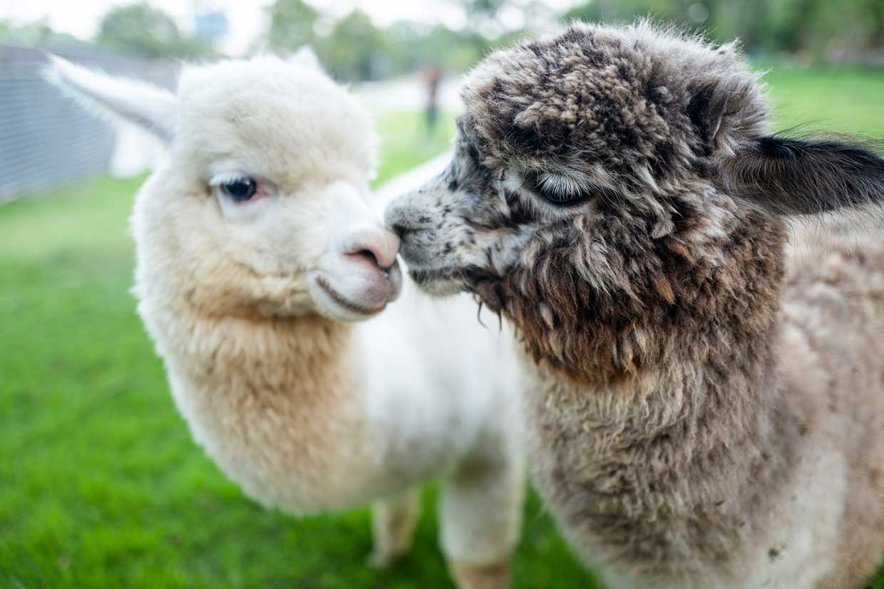 Marks & Spencer ditches alpaca wool following undercover investigation