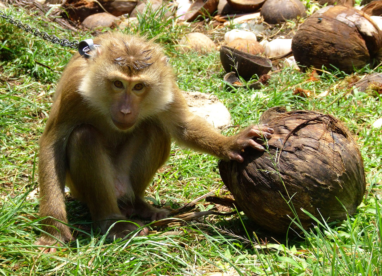 UK supermarkets ban sale of coconut products picked by monkeys