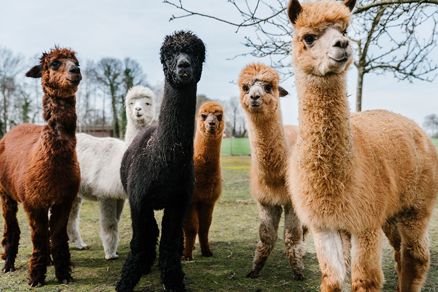 Valentino becomes first luxury fashion brand to ban alpaca wool