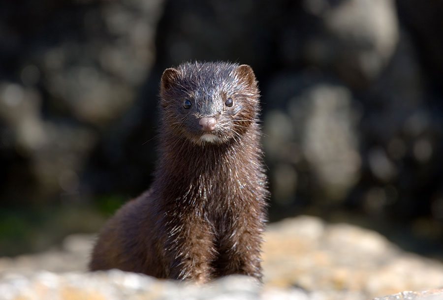 France to ban mink fur farming following investigation into 'shocking cruelty'