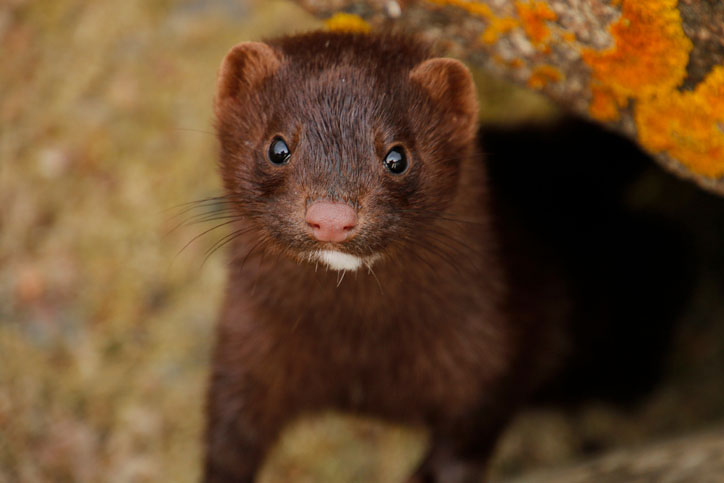 Dutch mink fur farms will close permanently by March 2021
