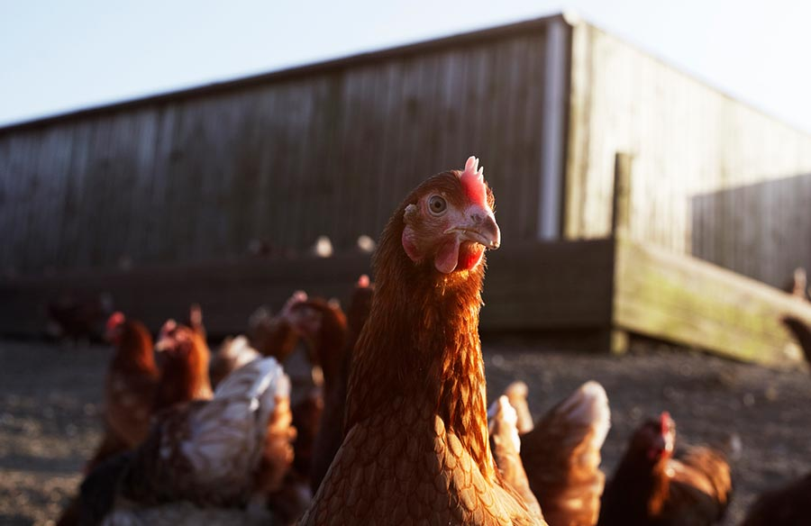 British factory-farmed chicken could cause the next pandemic
