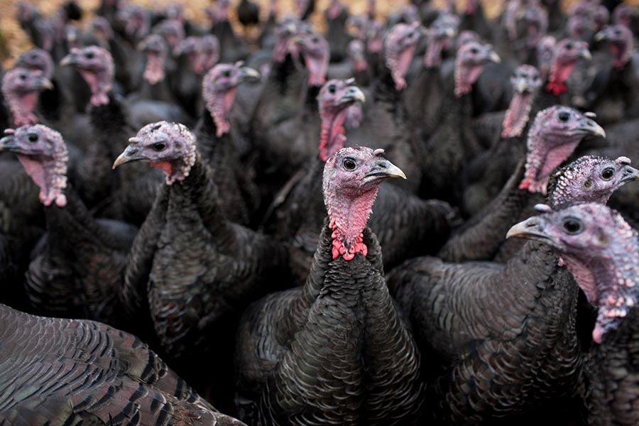 UK bird flu outbreak causes over 10,000 turkeys to be culled