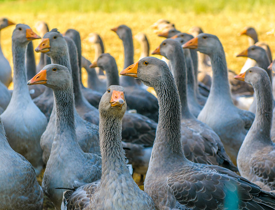 PETA launches petition calling for the end of foie gras in the UK