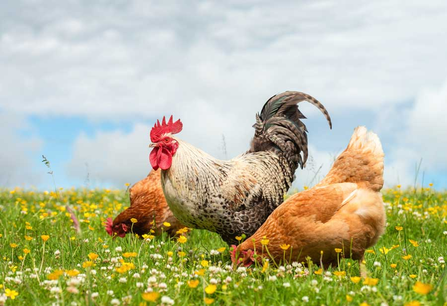 Where is the free in free-range eggs? Why free-range eggs aren't ethical
