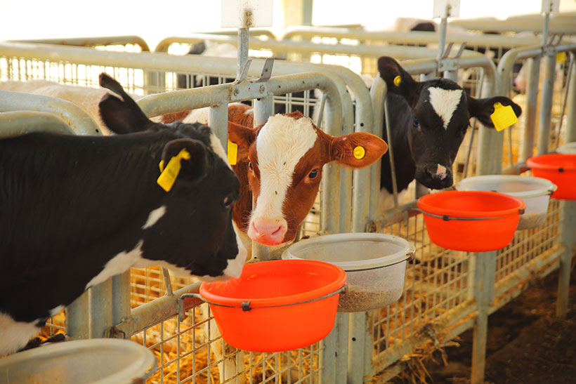 Male calves are often fed high concentrate feeds and are not allowed to graze outdoors if palced under a zero-grazing system