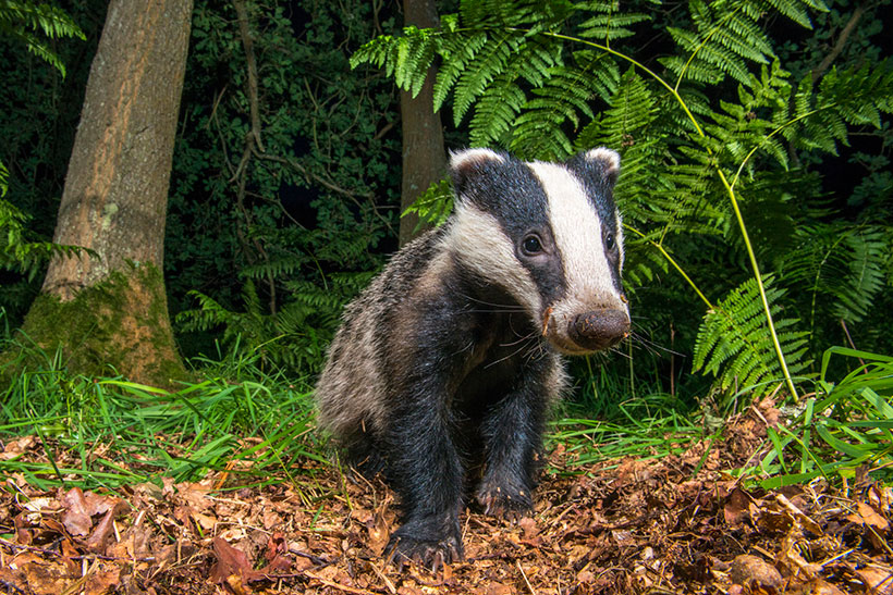 Badger culling: Why badgers are scapegoats in the war on bovine tuberculosis