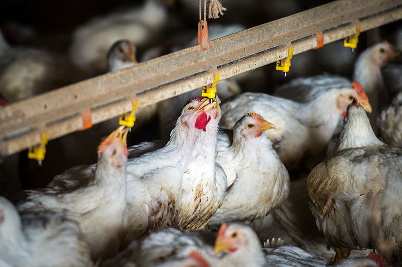Broiler chickens drink from water nipples in a poultry production facility.