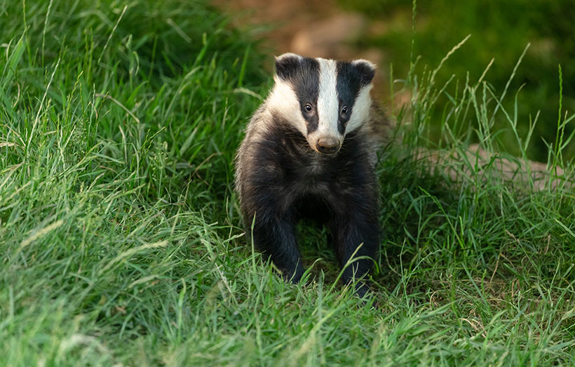 Badger culling actually increases the risk of badger-to-cattle and badger-to-badger transmission of bTB at is increases the range of the surviving badgers