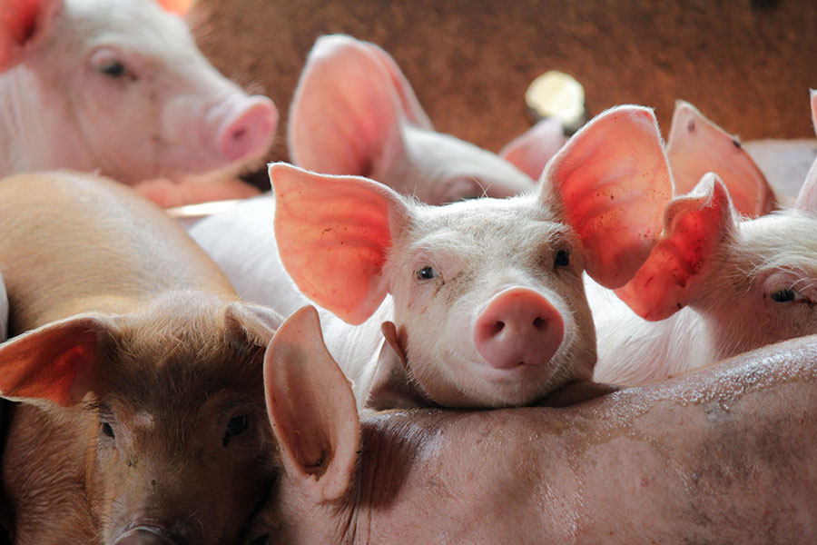 Intensive farming: The secret suffering of pig farming in the UK
