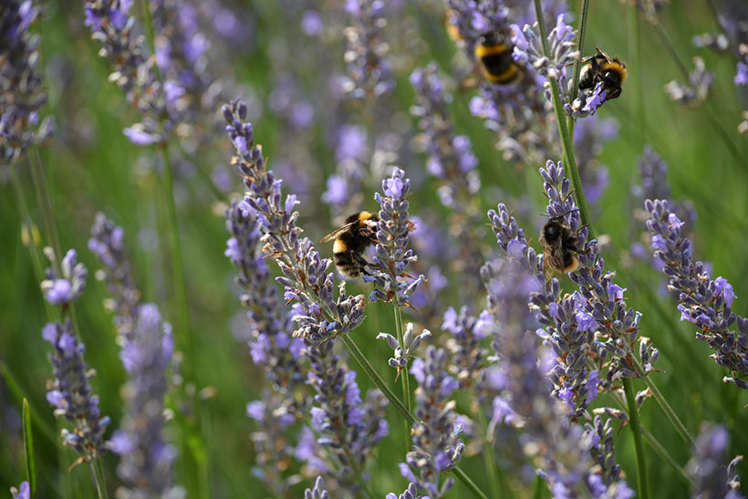 Planting drought-resistant plants such as lavender helps to save water and provides food for bees