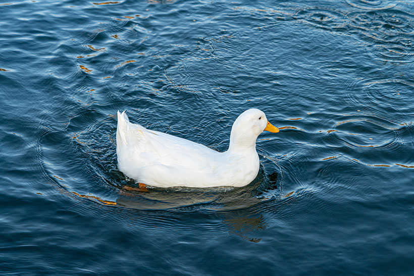 Ducks on duck farms are not provided with adequate amounts of water for swimming.